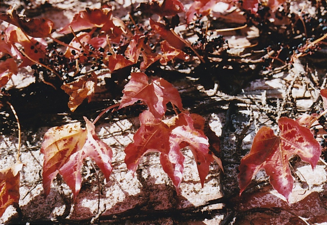 Lierre rouge